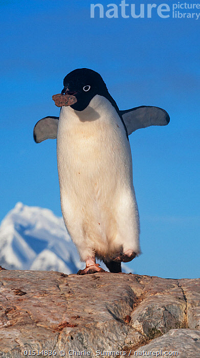 Adelie Penguin (Pygoscelis adeliae) carrying stolen rock from another nest in rookery, Peterman Island, Antarctica, November., high15,,Animal,Vertebrate,Bird,Birds,Penguin,Adelie penguin,Animalia,Animal,Wildlife,Vertebrate,Aves,Bird,Birds,Sphenisciformes,Penguin,Seabird,Spheniscidae,Pygoscelis,Pygoscelis adeliae,Adelie penguin,Walking,Carries,Carry,Criminal,Thief,Theft,Humorous,Mischief,Urgency,Nobody,Antarctica,Antarctic,Polar,Coloured Background,Blue Background,Cutout,Full Length,Full Lengths,Whole,Front View,View From Front,Wing,Wings,Rock,Sky,Outdoors,Open Air,Outside,Day,Animal Behaviour,Nesting behaviour,Nest building,Behaviour,Stealing,Wings spread,Wingspan,Blue sky,Hurrying,Stolen,Peterman Island,Marine bird,Marine birds,Pelagic bird,Pelagic birds,Flightless, Charlie  Summers