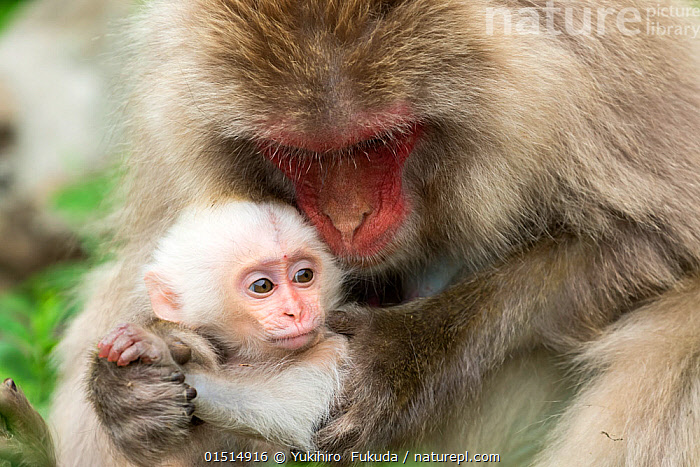 Japanese macaque (Macaca fuscata fuscata) mother with rare white furred baby, Jigokudani Valley,  Nagano Prefecture, Japan. June., high15,,Animal,Vertebrate,Mammal,Monkey,Macaque,Japanese macaque,Animalia,Animal,Wildlife,Vertebrate,Mammalia,Mammal,Primate,Primates,Cercopithecidae,Monkey,Old World Monkeys,Macaca,Macaque,Papionini,Macaca fuscata,Japanese macaque,Teaching,Teach,Hearing,Hear,Listening,Listen,Advice,Advise,Advising,Care,Caring,Gentleness,Gently,Nurturing,Nurture,Nurtures,Colour,White,Two,Nobody,Fluffy,Asia,East Asia,Japan,Chubu,Nagano Prefecture,Close Up,Front View,View From Front,Young Animal,Juvenile,Babies,Female animal,Animal Limbs,Limb,Animal Feet,Feet,Foot,Paw,Paws,Hair,Fur,Outdoors,Open Air,Outside,Day,Family,Mother baby,Mother-baby,mother,Colour morphs,Two animals,Parent baby,Using Senses,White colour,Jigokudani,Parenting,Animal Hair,Looking After,, Yukihiro  Fukuda