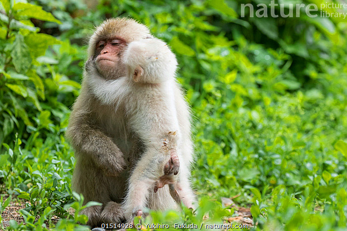 Japanese macaque (Macaca fuscata fuscata) mother with rare white furred male baby, Jigokudani Valley,  Nagano Prefecture, Japan. June.  ,  high15,,Animal,Vertebrate,Mammal,Monkey,Macaque,Japanese macaque,Animalia,Animal,Wildlife,Vertebrate,Mammalia,Mammal,Primate,Primates,Cercopithecidae,Monkey,Old World Monkeys,Macaca,Macaque,Papionini,Macaca fuscata,Japanese macaque,Standing,Colour,White,Two,Nobody,Affectionate,Affection,Hugging,Asia,East Asia,Japan,Chubu,Nagano Prefecture,Nagano,Nagano Shi,Young Animal,Juvenile,Babies,Female animal,Male Animal,Hair,Fur,Tail,Reproductive Organ,Reproductive Organs,Genital,Genitalia,Genitals,Testis,Testicle,Testicles,Outdoors,Open Air,Outside,Day,Family,Mother baby,Mother-baby,mother,Colour morphs,Standing on hind legs,Two animals,Parent baby,White colour,Jigokudani,Animal Hair,  ,  Yukihiro  Fukuda