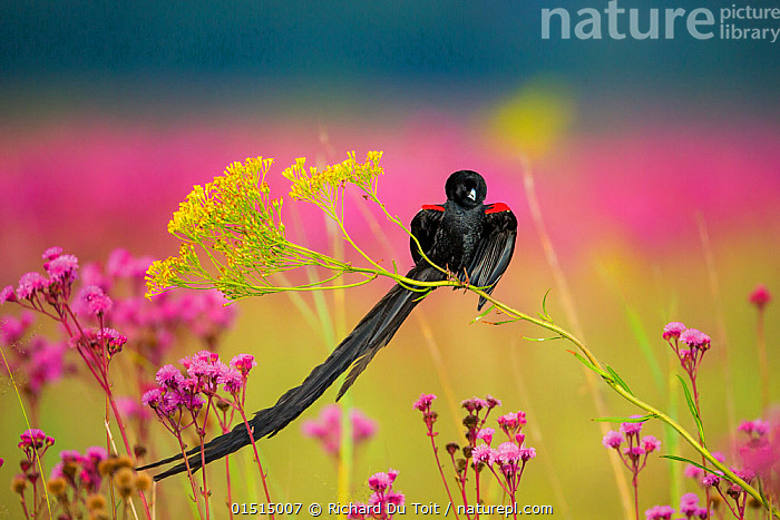 Longtailed widowbird (Eupletes progne) male perched in flowers, Rietvlei Nature Reserve, South Africa., catalogue8,,Animal,Vertebrate,Bird,Birds,Songbird,Weaver,Longtailed widow bird,Animalia,Animal,Wildlife,Vertebrate,Aves,Bird,Birds,Passeriformes,Songbird,Passerine,Ploceidae,Weaver,Weaverbird,Weaver bird,Widowbird,Euplectes,Euplectes progne,Longtailed widow bird,Long tailed whydah,Long tailed widowbird,Longtailed whydah,Emberiza progne,Alertness,Alert,Colour,Black,Pink,Nobody,Pattern,Patterned,Patterns,Weight,Africa,Southern Africa,South Africa,Pretoria,Close Up,Male Animal,Plant,Wildflower,Wildflowers,Flower,Flowers,Feather,Feathers,Tail,Outdoors,Open Air,Outside,Day,Nature,Natural,Natural World,Nature Reserve,Wild,Grassland,Meadow,Meadows,Reserve,Protected area,Tail Feather,South African,Animal marking,Rietvlei Nature Reserve,,,Beauty in nature,,,beauty in nature,, Richard Du Toit