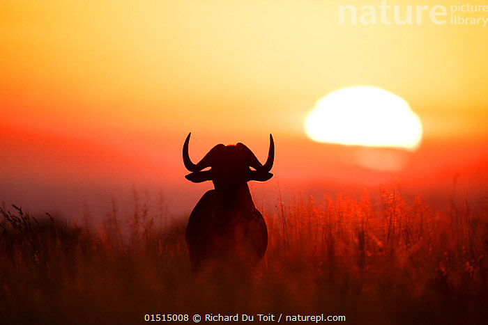 Black wildebeest (Connochaetus gnou) bull silhouetted at dawn,  Rietvlei Nature Reserve, Gauteng Province, South Africa.  ,  Black Wildebeest (Connochaetus gnou);Gauteng Province;Rietvlei Nature Reserve;South Africa high15,,Animal,Vertebrate,Mammal,Bovid,Wildebeest,Black Wildebeest,Animalia,Animal,Wildlife,Vertebrate,Mammalia,Mammal,Artiodactyla,Even-toed ungulates,Bovidae,Bovid,ruminantia,Ruminant,Connochaetes,Wildebeest,Connochaetes gnou,Black Wildebeest,White-tailed Gnu,Thinking,Thoughtful,Looking At A View,Admiration,Admire,Admires,Admiring,Appreciation,Atmospheric Mood,Atmospheric,Morning,Mornings,Alone,Solitude,Solitary,Colour,Orange,Yellow,Nobody,Luminosity,Glow,Glows,Size,Large,Big,Africa,Southern Africa,South Africa,Pretoria,Back Lit,Backlit,Male Animal,Bull,Bulls,Plant,Grass Family,Tall Grass,Long Grass,Tall Grasses,Grass,Grasses,Plain,Plains,Sky,Moody Sky,Dramatic Sky,Outdoors,Open Air,Outside,Night,Reserve,Silhouette,The Sun,Protected area,Dawn,South African,Hues,Contemplation,Beginnings,Yellow Colour,Rietvlei Nature Reserve,Gauteng Province,  ,  Richard Du Toit
