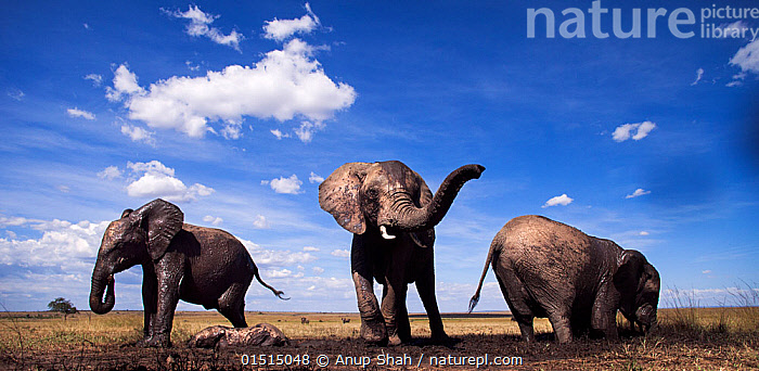 African elephants (Loxodonta africana) gathering at a waterhole, wide angle view. Maasai Mara National Reserve, Kenya., high15,,Animal,Vertebrate,Mammal,Elephant,African elephants,African elephant,Animalia,Animal,Wildlife,Vertebrate,Mammalia,Mammal,Proboscidea,Elephantidae,Elephant,Loxodonta,African elephants,Loxodonta africana,African elephant,Enjoyment,Enjoy,Enjoying,Pleasure,Fun,Amusement,Friendship,Side By Side,Group Of Animals,Herd,Herds,Few,Three,Group,Nobody,Wet,Africa,East Africa,Kenya,Front View,View From Front,Low Angle View,Wide Angle,Plain,Plains,Sky,Cloud,Water Hole,Water Holes,Outdoors,Open Air,Outside,Day,Freshwater,Water,Animal Behaviour,Playing,Reserve,Behaviour,Play,Playful,Protected area,Three Animals,Blue sky,Personal point of view,National Reserve,Personal POV,Endangered species,threatened,Endangered, Anup Shah