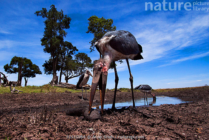 Marabou storks (Leptoptilos crumeniferus) feeding on catfish in waterhole, wide angle view. Maasai Mara National Reserve, Kenya.  ,  catalogue8,,Animal,Vertebrate,Ray-finned fish,Catfish,Bird,Birds,Stork,Marabou,Animalia,Animal,Wildlife,Vertebrate,Actinopterygii,Ray-finned fish,Osteichthyes,Bony fish,Fish,Siluriformes,Catfish,Aves,Bird,Birds,Ciconiiformes,Ciconiidae,Stork,Leptoptilos,Leptoptilos crumeniferus,Marabou,Marabou stork,Happiness,Few,Three,Group,Nobody,Africa,East Africa,Kenya,Low Angle View,Wide Angle,Plant,Tree,Beak,Beaks,Mud,Muddy,Flowing Water,River,Water Hole,Water Holes,Outdoors,Open Air,Outside,Day,Nature,Natural,Natural World,Wild,Freshwater,Water,Feeding,Reserve,Protected area,Three Animals,Personal point of view,National Reserve,Bending,Bending forwards,Personal POV,  ,  Anup Shah