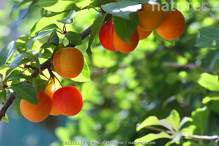 Ripe plums (Prunus domestica) on branch in a garden, Var, Provence, France, June.  ,  Plant,Vascular plant,Flowering plant,Rosid,Stone fruit,Plum tree,Plantae,Plant,Tracheophyta,Vascular plant,Magnoliopsida,Flowering plant,Angiosperm,Seed plant,Spermatophyte,Spermatophytina,Angiospermae,Rosales,Rosid,Dicot,Dicotyledon,Rosanae,Rosaceae,Prunus,Stone fruit,Prunus domestica,Plum tree,European plum tree,Prunus communis,Prunus oeconomica,Prunus sativa domestica,Europe,Western Europe,France,Provence Alpes Cote D'Azur,Provence,Crops,Produce,Cultivated,Cultivation,Plum,Plums,Fruit,Edible,Fruit,Fruits,Tree,Trees  ,  Pascal Pittorino
