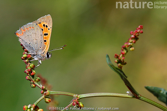 Grecian copper butterfly (Lycaena ottomana) resting on a plant, Corsica Island, France, May. Vulnerable species., Animal,Arthropod,Insect,Gossamer winged butterfly,Animalia,Animal,Wildlife,Hexapoda,Arthropod,Invertebrate,Hexapod,Arthropoda,Insecta,Insect,Lepidoptera,Lepidopterans,Lycaenidae,Gossamer winged butterfly,Lycaenid,Butterfly,Papilionoidea,Lycaena,Europe,Western Europe,France,Corsica,Profile,Side View,Macros,Lycaena ottomana, Pascal Pittorino