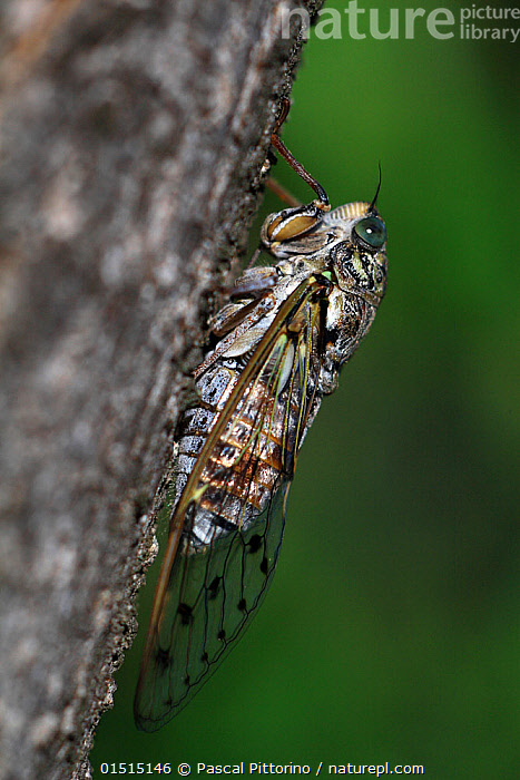Cicada (Cicada orni) resting on a trunk, Var, Provence, France, July  ,  Animal,Arthropod,Insect,True bug,Cicada,Animalia,Animal,Wildlife,Hexapoda,Arthropod,Invertebrate,Hexapod,Arthropoda,Insecta,Insect,Hemiptera,True bug,Bug,Paraneoptera,Neoptera,Pterygota,Cicadidae,Cicada,Cicadoidea,Cicadomorpha,Auchenorrhyncha,Clypeorrhyncha,Homoptera,Cicada orni,Camouflage,Europe,Western Europe,France,Provence Alpes Cote D'Azur,Provence,Profile,Vertical,Side View,Camera Focus,Selective Focus,Macros,Shallow depth of field,Low depth of field  ,  Pascal Pittorino