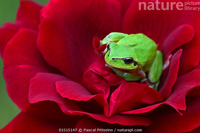 Mediterranean tree frog (Hyla meridionalis) resting on a Red rose (Rosa sp) in organic garden, Toulon, Var, Provence, France, May., high15,,Animal,Vertebrate,Frog,Tree frog,Mediterranean Tree Frog,Animalia,Animal,Wildlife,Vertebrate,Amphibia,Anura,Frog,Hylidae,Tree frog,Hyla,Hyla meridionalis,Mediterranean Tree Frog,Stripeless Tree Frog,Waiting,Alertness,Alert,Anticipation,Emergence,Coming Out,Emergance,Emerge,Emerges,Emerging,Colour,Green,Red,Nobody,Vibrant Colour,Europe,Western Europe,France,Provence Alpes Cote D'Azur,Provence,Close Up,Portrait,Plant,Flower,Flowers,Rose Order,Rose Family,Rose,Roses,Outdoors,Open Air,Outside,Day,Green colour,Amphibian,Flowerhead,Toulon,, Pascal Pittorino