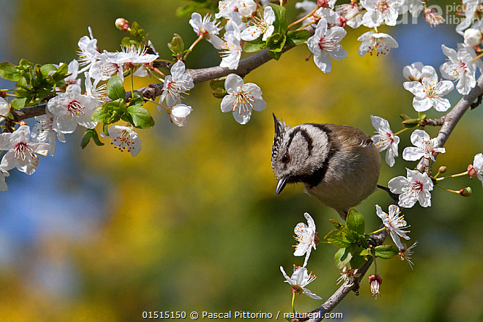 Crested tit (Parus cristatus) perched on a branch of plum blossom (Prunus domestica) in a garden, Var, Provence, France, March.  ,  Plant,Vascular plant,Flowering plant,Rosid,Stone fruit,Plum tree,Animal,Vertebrate,Bird,Birds,Songbird,Tit,Crested tit,Plantae,Plant,Tracheophyta,Vascular plant,Magnoliopsida,Flowering plant,Angiosperm,Seed plant,Spermatophyte,Spermatophytina,Angiospermae,Rosales,Rosid,Dicot,Dicotyledon,Rosanae,Rosaceae,Prunus,Stone fruit,Prunus domestica,Plum tree,European plum tree,Prunus communis,Prunus oeconomica,Prunus sativa domestica,Animalia,Animal,Wildlife,Vertebrate,Aves,Bird,Birds,Passeriformes,Songbird,Passerine,Paridae,Tit,Lophophanes,Lophophanes cristatus,Crested tit,European crested tit,Parus cristatus,Europe,Western Europe,France,Provence Alpes Cote D'Azur,Provence,Copy Space,Flower,Spring,Negative space,Edible,Fruit,Fruits,Tree,Trees  ,  Pascal Pittorino