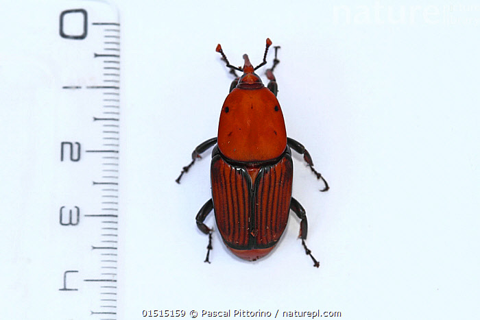 Nature Picture Library - Red palm weevil male (Rhynchophorus