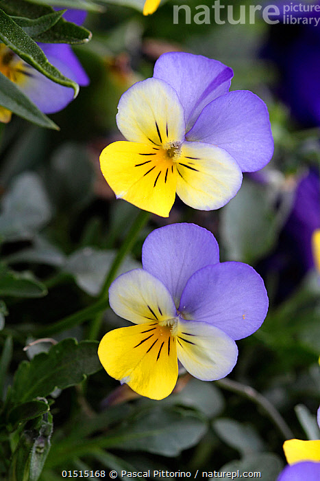 Horned pansy (Viola cornuta)  in botanic garden, Var, France, March.  ,  high15,,Plant,Vascular plant,Flowering plant,Rosid,Violet,Horned pansy,Plantae,Plant,Tracheophyta,Vascular plant,Magnoliopsida,Flowering plant,Angiosperm,Seed plant,Spermatophyte,Spermatophytina,Angiospermae,Malpighiales,Rosid,Dicot,Dicotyledon,Rosanae,Violaceae,Viola,Violet,Viola cornuta,Horned pansy,Horned violet,Optimism,Optimistic,Same,Happiness,Colour,Purple,Yellow,Two,Nobody,Europe,Western Europe,France,Provence Alpes Cote D'Azur,Provence,Vertical,High Angle View,Flower,Flowers,Botanical Gardens,Outdoors,Open Air,Outside,Day,Beautiful,Elevated view,Two Objects,Flowerhead,Botanic Garden,Yellow Colour,Var,  ,  Pascal Pittorino