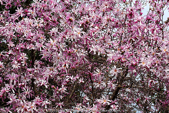 Nature Picture Library Flowering Star Magnolia Tree Magnolia