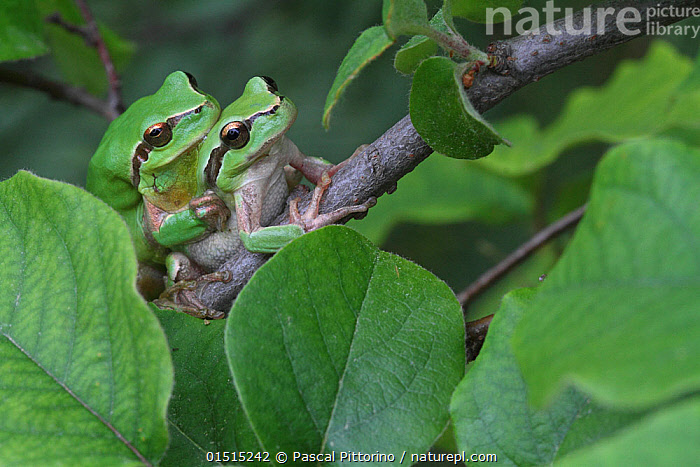 Mediterranean tree frogs (Hyla meridionalis) mating on a branch of Quince tree (Cydonia oblonga) Var, Provence, France, April.  ,  high15,,Plant,Vascular plant,Flowering plant,Rosid,Quince tree,Animal,Vertebrate,Frog,Tree frog,Mediterranean Tree Frog,Plantae,Plant,Tracheophyta,Vascular plant,Magnoliopsida,Flowering plant,Angiosperm,Seed plant,Spermatophyte,Spermatophytina,Angiospermae,Rosales,Rosid,Dicot,Dicotyledon,Rosanae,Rosaceae,Cydonia,Cydonia oblonga,Quince tree,Cydonia vulgaris,Pyrus cydonia,Animalia,Animal,Wildlife,Vertebrate,Amphibia,Anura,Frog,Hylidae,Tree frog,Hyla,Hyla meridionalis,Mediterranean Tree Frog,Stripeless Tree Frog,Camouflage,Colour,Green,Two,Nobody,Pattern,Patterned,Patterns,Affectionate,Affection,Hugging,Europe,Western Europe,France,Provence Alpes Cote D'Azur,Provence,Close Up,Side View,Branch,Branches,Leaf,Foliage,Rose Order,Rose Family,Quince Tree,Quince Trees,Outdoors,Open Air,Outside,Day,Animal Behaviour,Mating Behaviour,Copulation,Behaviour,Fruit,Two animals,Animal marking,Green colour,Amphibian,Amplexus,Var,  ,  Pascal Pittorino