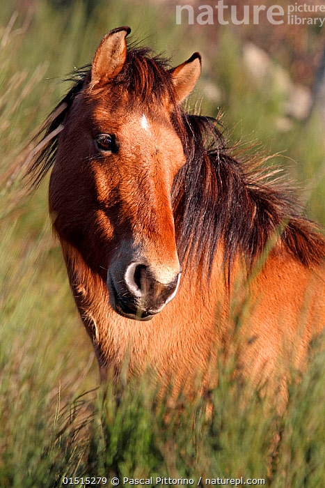 Przewalski's horse (Equus ferus przewalski) head portrait, captive, Lozere, France, December., catalogue8,,Animal,Vertebrate,Mammal,Odd toed ungulate,Wild Horse,Przewalski's horse,Animalia,Animal,Wildlife,Vertebrate,Mammalia,Mammal,Perissodactyla,Odd toed ungulate,Equidae,Equus,Equus ferus,Wild Horse,Horse,Standing,Thinking,Thoughtful,Pensive,Care,Caring,Gentleness,Gently,Kindness,Kind,Colour,Brown,Nobody,Europe,Western Europe,France,Languedoc-Roussillon,Vertical,Portrait,Ear,Animal Ears,Ears,Mane,Manes,Outdoors,Open Air,Outside,Day,Equus ferus przewalskii,Przewalski's horse,Dzungarian horse,Ears Pricked,Animal portrait,Brown Colour,Lozere,Endangered,Threatened,Endangered species, Pascal Pittorino