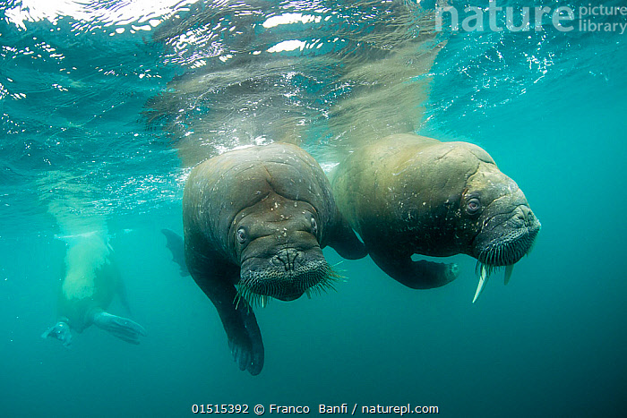 Walrus (Odobenus rosmarus) two swimming underwater, Spitsbergen, Svalbard Archipelago, Norway, Arctic Ocean. July., Animal,Vertebrate,Mammal,Carnivore,Walrus,Animalia,Animal,Wildlife,Vertebrate,Mammalia,Mammal,Carnivora,Carnivore,Odobenidae,Walrus,Pinniped,Pinnipedia,Odobenus,Odobenus rosmarus,Two,Europe,Northern Europe,North Europe,Nordic Countries,Scandinavia,Norway,Svalbard,Arctic,Polar,Ocean,Arctic Ocean,Marine,Underwater,Water,Saltwater,Spitsbergen,Marine, Franco  Banfi
