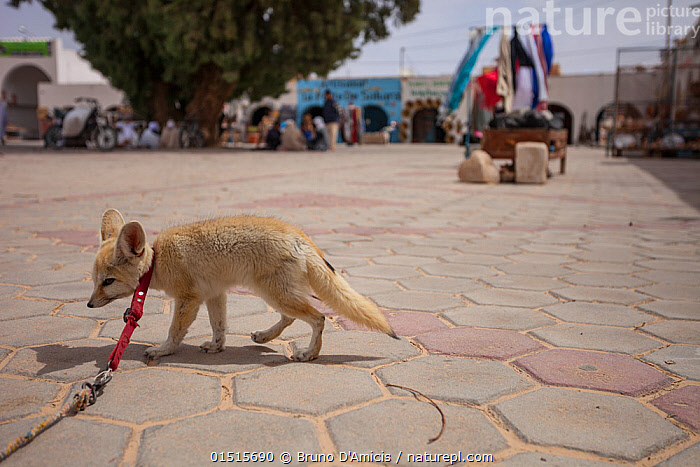 Fennec fox (Vulpes zerda) �Sultan� tied up in front of a tourist shop in the souk,  Douz,  Kebili Governorate. Tunisia. Unwittingly, tourists support the capture of fennec fox cubs from the wild by paying to take photos or even purchasing them, illegally, as pets. Foxes used as tourist attractions often exhibit signs of stress and aggression and die prematurely. April 2013.  ,  high15,,Animal,Vertebrate,Mammal,Carnivore,Canid,True fox,Fennec fox,Animalia,Animal,Wildlife,Vertebrate,Mammalia,Mammal,Carnivora,Carnivore,Canidae,Canid,Vulpes,True fox,Vulpini,Caninae,Vulpes zerda,Fennec fox,Fennecus zerda,Vulpes aurita,Vulpes fennecus,Standing,People,Incidental People,Incidental Person,People In The Background,Background People,Background Person,People In Background,Person In Background,Cruelty,Sadness,Tied Up,Bound,Tied,Distress,Distressed,Misery,Africa,North Africa,Northern Africa,Tunisia,Market,Markets,Bazaar,Bazaars,Souk,Souks,Paving,Paved,Paving Slab,Paving Slabs,Paving Stone,Paving Stones,Desert,Deserts,Outdoors,Open Air,Outside,Day,Captivity,Animal Cruelty,Dejected,Despondent,Downcast,Kebili Region,Douz,  ,  Bruno D'Amicis