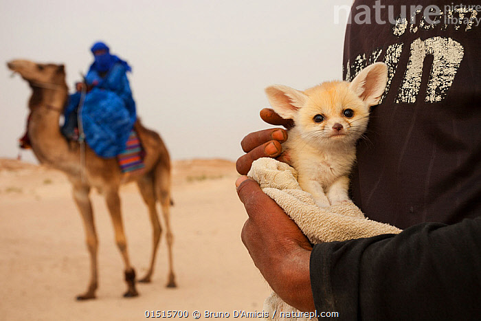 Fennec fox (Vulpes zerda) pup, aged a few weeks, caught in the wild and shown at a famous camel trekking site for tourists in the hope of either selling it or being paid for photos, Kebili Governorate. Tunisia. April 2013.  ,  high15,,Animal,Vertebrate,Mammal,Carnivore,Canid,True fox,Fennec fox,Camelid,Camel,Animalia,Animal,Wildlife,Vertebrate,Mammalia,Mammal,Carnivora,Carnivore,Canidae,Canid,Vulpes,True fox,Vulpini,Caninae,Vulpes zerda,Fennec fox,Fennecus zerda,Vulpes aurita,Vulpes fennecus,Artiodactyla,Even-toed ungulates,Camelidae,Camelid,Tylopoda,Camelus,Camel,Carries,Carry,People,Woman,Man,Protection,Trapped,Two,Africa,North Africa,Northern Africa,Tunisia,Close Up,Camera Focus,Selective Focus,Focus On Foreground,Focus On Foregrounds,Young Animal,Juvenile,Babies,Baby Mammal,Pup,Pups,Clothing,Traditional Clothing,Desert,Deserts,Outdoors,Open Air,Outside,Day,Captivity,MS,Two animals,Direct Gaze,Shallow depth of field,Low depth of field,Protector,Kebili Region,Kebili Governorate,  ,  Bruno D'Amicis