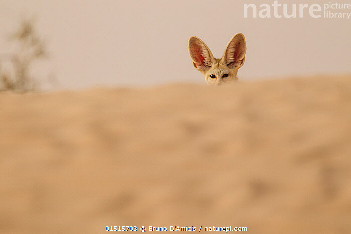 Fennec fox (Vulpes zerda) ears above sand dunes, Grand Erg Oriental, Kebili Governorate. Tunisia., catalogue8,,Animal,Vertebrate,Mammal,Carnivore,Canid,True fox,Fennec fox,Animalia,Animal,Wildlife,Vertebrate,Mammalia,Mammal,Carnivora,Carnivore,Canidae,Canid,Vulpes,True fox,Vulpini,Caninae,Vulpes zerda,Fennec fox,Fennecus zerda,Vulpes aurita,Vulpes fennecus,Hiding,Hearing,Hear,Alertness,Alert,Caution,Cautious,Nobody,Part Of,Africa,North Africa,Northern Africa,Tunisia,Copy Space,Female animal,Ear,Animal Ears,Ears,Sand Dune,Dune,Dunes,Sandbank,Desert,Deserts,Sahara Desert,Sahara,Outdoors,Open Air,Outside,Day,Direct Gaze,Negative space,Using Senses,High Section,Kebili Region,Grand Erg Oriental,Kebili Governorate,, Bruno D'Amicis