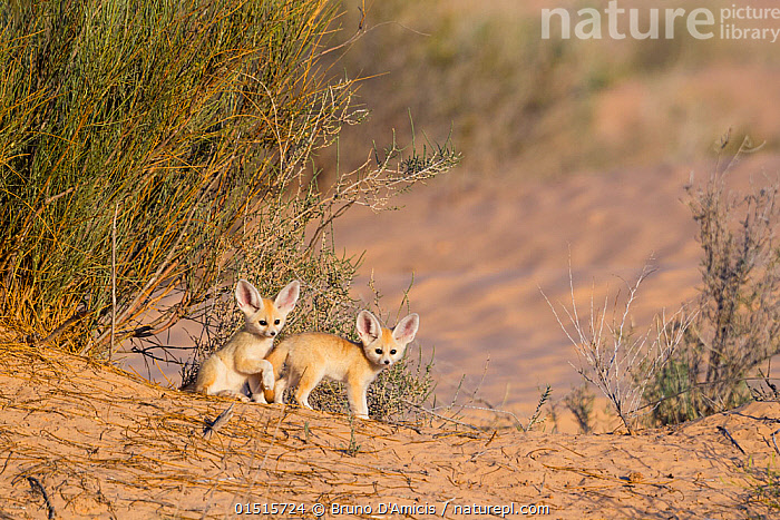 Fennec fox (Vulpes zerda) pups playing outside of den, Grand Erg Oriental, Kebili Governorate. Tunisia., high15,,Animal,Vertebrate,Mammal,Carnivore,Canid,True fox,Fennec fox,Animalia,Animal,Wildlife,Vertebrate,Mammalia,Mammal,Carnivora,Carnivore,Canidae,Canid,Vulpes,True fox,Vulpini,Caninae,Vulpes zerda,Fennec fox,Fennecus zerda,Vulpes aurita,Vulpes fennecus,Alertness,Alert,Cute,Adorable,Two,Nobody,Dry,Arid,Africa,North Africa,Northern Africa,Tunisia,Young Animal,Juvenile,Babies,Baby Mammal,Pup,Pups,Plant,Bush,Bushes,Shrub,Shrubs,Desert,Deserts,Outdoors,Open Air,Outside,Day,Nature,Natural,Natural World,Wild,Animal Behaviour,Playing,Behaviour,Play,Playful,Two animals,Kebili Region,Grand Erg Oriental,Kebili Governorate,, Bruno D'Amicis