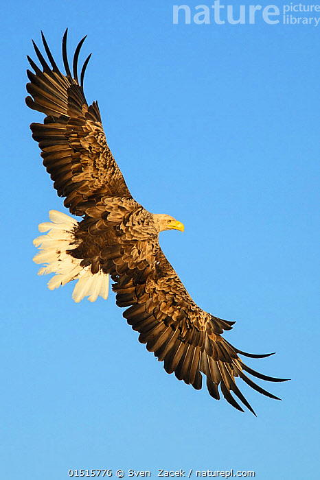 White-tailed sea eagle (Haliaeetus albicilla) flying, against a clear blue sky, Norway, July., high15,,Animal,Vertebrate,Bird,Birds,Sea eagle,White tailed sea eagle,Animalia,Animal,Wildlife,Vertebrate,Aves,Bird,Birds,Accipitriformes,Accipitridae,Haliaeetus,Sea eagle,Eagle,Bird of prey,Raptor,Haliaeetus albicilla,White tailed sea eagle,White tailed eagle,Flying,Nobody,Europe,Northern Europe,North Europe,Nordic Countries,Scandinavia,Norway,Coloured Background,Blue Background,Copy Space,Cutout,Close Up,Feather,Feathers,Wing,Wings,Sky,Clear Sky,Outdoors,Open Air,Outside,Day,Flight,Ventral view,Underside,Wings spread,Wingspan,Plumage,Negative space,Surveying,Survey,Blue sky,, Sven  Zacek