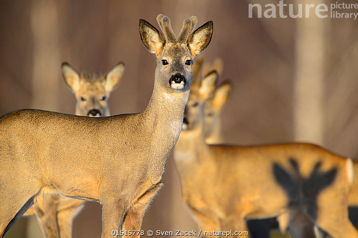 Four Roe deer (Capreolus capreolus) bucks with velvet antlers and the shadow of a fifth buck, Tartumaa, Estonia, March.  ,  catalogue8,,Animal,Vertebrate,Mammal,Deer,Roe deer,Animalia,Animal,Wildlife,Vertebrate,Mammalia,Mammal,Artiodactyla,Even-toed ungulates,Cervidae,Deer,True deer,ruminantia,Ruminant,Capreolus,Roe deer,Capreolus capreolus,Approaching,Approach,Approaches,Approachs,Standing,Anticipation,Caution,Cautious,Apprehensive,Togetherness,Close,Together,Few,Four,Group,Medium Group,Nobody,Europe,Eastern Europe,East Europe,Baltic Countries,Baltic States,Estonia,Camera Focus,Selective Focus,Focus On Foreground,Focus On Foregrounds,Male Animal,Buck,Antler,Antlers,Shadow,Outdoors,Open Air,Outside,Day,Nature,Natural,Natural World,Wild,Woodland,Forest,Safety in Numbers,Direct Gaze,Shallow depth of field,Low depth of field,Four animals,Tartumaa,  ,  Sven  Zacek