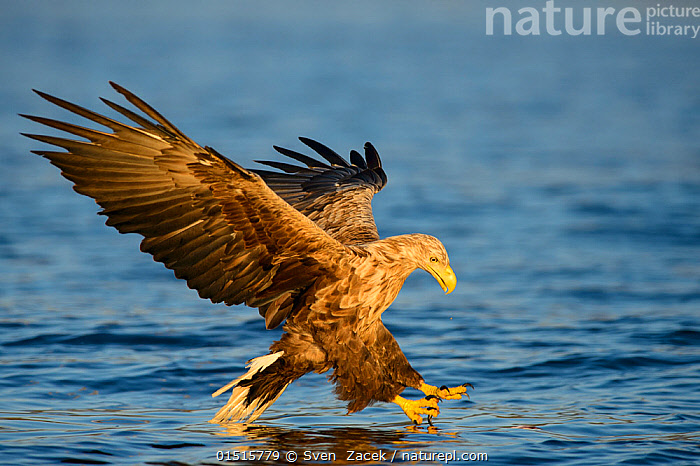 White-tailed sea eagle (Haliaeetus albicilla) flying, and hunting over sea, Norway, July., high15,,Animal,Vertebrate,Bird,Birds,Sea eagle,White tailed sea eagle,Animalia,Animal,Wildlife,Vertebrate,Aves,Bird,Birds,Accipitriformes,Accipitridae,Haliaeetus,Sea eagle,Eagle,Bird of prey,Raptor,Haliaeetus albicilla,White tailed sea eagle,White tailed eagle,Flying,Landing,Concentrate,Concentrated,Concentrating,Concentration,Balance,Focus,Nobody,Europe,Northern Europe,North Europe,Nordic Countries,Scandinavia,Norway,Full Length,Full Lengths,Whole,Side View,Wing,Wings,Light,Lights,Sunlight,Outdoors,Open Air,Outside,Day,Nature,Natural,Natural World,Wild,Marine,Water Surface,Water,Animal Behaviour,Predation,Hunting,Behaviour,Saltwater,Sea,Flight,Wings spread,Wingspan,Sunlit,Focused,, Sven  Zacek
