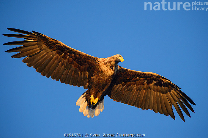 White-tailed sea eagle (Haliaeetus albicilla) in flight, against a clear blue sky, Norway, July., high15,,Animal,Vertebrate,Bird,Birds,Sea eagle,White tailed sea eagle,Animalia,Animal,Wildlife,Vertebrate,Aves,Bird,Birds,Accipitriformes,Accipitridae,Haliaeetus,Sea eagle,Eagle,Bird of prey,Raptor,Haliaeetus albicilla,White tailed sea eagle,White tailed eagle,Flying,Hierarchies,Pride,Proud,Colour,Brown,Nobody,Europe,Northern Europe,North Europe,Nordic Countries,Scandinavia,Norway,Coloured Background,Blue Background,Cutout,Wing,Wings,Sky,Clear Sky,Outdoors,Open Air,Outside,Day,Nature,Natural,Natural World,Wild,Flight,Ventral view,Underside,Wings spread,Wingspan,Blue sky,Haughty,Superiority,Imposing,Brown Colour,, Sven  Zacek