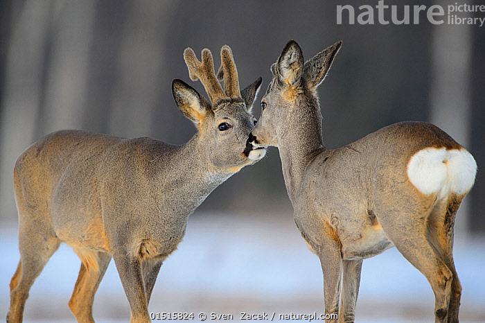 Roe deer (capreolus capreolus) buck with velvet antlers and fawn,  Tartumaa, Estonia, March., high15,,Animal,Vertebrate,Mammal,Deer,Roe deer,Animalia,Animal,Wildlife,Vertebrate,Mammalia,Mammal,Artiodactyla,Even-toed ungulates,Cervidae,Deer,True deer,ruminantia,Ruminant,Capreolus,Roe deer,Capreolus capreolus,Standing,Face To Face,Face Each Other,Facing Each Other,Two,Nobody,Europe,Eastern Europe,East Europe,Baltic Countries,Baltic States,Estonia,Young Animal,Juvenile,Babies,Baby Mammal,Fawn,Male Animal,Buck,Antler,Antlers,Rear End,Outdoors,Open Air,Outside,Winter,Day,Nature,Natural,Natural World,Wild,Woodland,Forest,Two animals,Tartumaa,Animal Rear,, Sven  Zacek