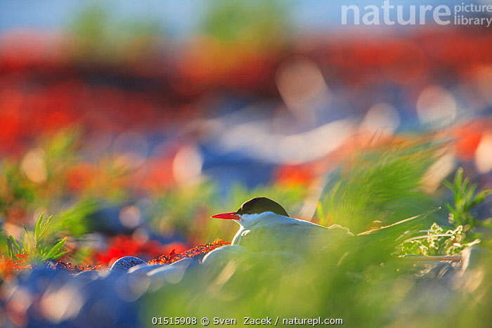 Arctic tern (Sterna paradisea) sitting on its nest surrounded by various coastal colors. Harjumaa, Estonia. June.  ,  catalogue8,,Animal,Vertebrate,Bird,Birds,Tern,Arctic tern,Animalia,Animal,Wildlife,Vertebrate,Aves,Bird,Birds,Charadriiformes,Sternidae,Tern,Gull,Seabird,Sterninae,Sterna,Sterna paradisaea,Arctic tern,Waiting,Patience,Colour,Green,Red,Colourful,Colorful,Nobody,Europe,Eastern Europe,East Europe,Baltic Countries,Baltic States,Estonia,Profile,Side View,Camera Focus,Selective Focus,Animal Home,Nest,Outdoors,Open Air,Outside,Summer,Day,Nature,Natural,Natural World,Wild,Coast,Coastal,Shallow depth of field,Low depth of field,Green colour,Harjumaa,  ,  Sven  Zacek