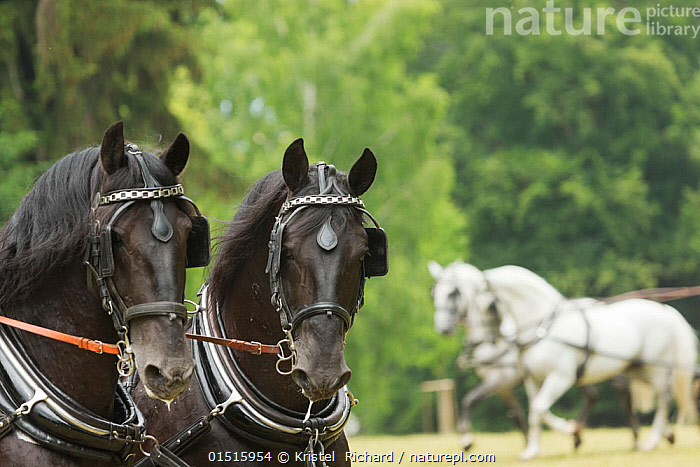 Headshot of two rare black Kladruber stallions, harnessed for driving, at the Great Riding festival, in Slatinany national stud, Pardubice Region, Czech Republic. June 2015.  ,  high15,,Equus ferus caballus,Equus caballus,Colour,Black,Few,Four,Two,Group,Nobody,Europe,Eastern Europe,East Europe,Czech Republic,Camera Focus,Selective Focus,Focus On Foreground,Focus On Foregrounds,Animal,Equipment,Harnesses,Land Vehicle,Animal Drawn,Horsedrawn,Outdoors,Open Air,Outside,Day,Domestic animal,Domestic Horse,Kladruber,Equus ferus caballus,Equus caballus,Horse,Shallow depth of field,Low depth of field,Four animals,Mammal,Blinkers,Slatinany,Pardubice Region,  ,  Kristel  Richard