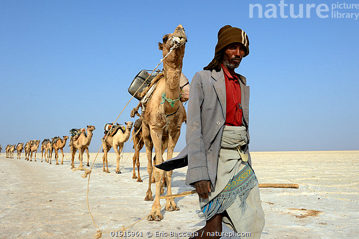 Salt caravans made up of hundreds of Dromedary camels (Camelus dromedarius) and their pullers transporting salt slabs cut from Lake Assale to the Mekele Market, Danakil depression, Afar region, Ethiopia, March 2015.  ,  catalogue8,,Animal,Vertebrate,Mammal,Camelid,Camel,Dromedary camel,Animalia,Animal,Wildlife,Vertebrate,Mammalia,Mammal,Artiodactyla,Even-toed ungulates,Camelidae,Camelid,Tylopoda,Camelus,Camel,Camelus dromedarius,Dromedary camel,Domesticated,domestic camel,Camelus aegyptiacus,Camelus dromas,Camelus ferus,Leading,Moving After,Following,Follow,Follows,Working,People,Man,Only Men,One Man,Transport Occupation,Transport Occupations,Transportation Occupation,Animal Rider,Animal Riders,Camel Rider,Camel Train,Guidance,Guiding,Journey,Obedience,Real People,Row,1 Person,Single,Single Person,Africa,East Africa,Ethiopia,Clothing,Outerwear,Jacket,Jackets,Rope,Cords,Desert,Deserts,Mineral,Minerals,Sky,Clear Sky,Outdoors,Open Air,Outside,Transportation,Domestic animal,Moving,Blue sky,Lined up,Working Animal,Single File,Procession,Domestic camel,Afar Region,Lunghi (Clothes),  ,  Eric Baccega