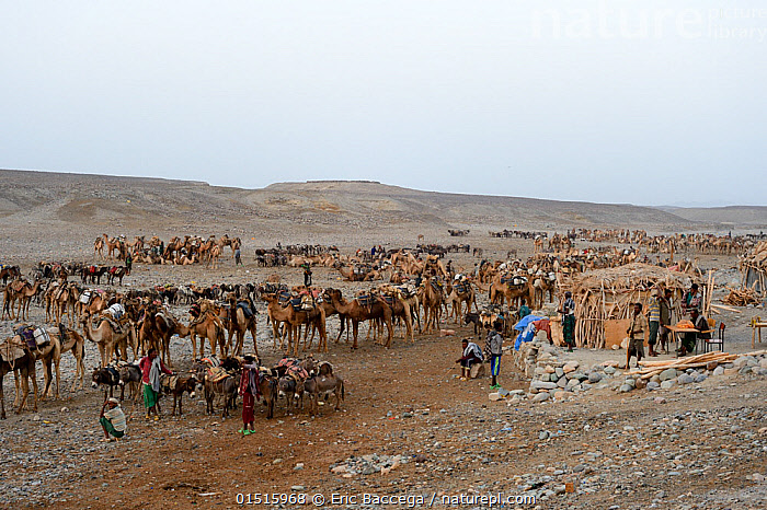 Early morning at Ahmed Ela, the Dromedary camels (Camelus dromedarius) and their pullers waiting for assignment to their Afar salt cutter crews on lake Assale, Danakil depression, Afar region, Ethiopia, March 2015.  ,  Animal,Vertebrate,Mammal,Camelid,Camel,Dromedary camel,Animalia,Animal,Wildlife,Vertebrate,Mammalia,Mammal,Artiodactyla,Even-toed ungulates,Camelidae,Camelid,Tylopoda,Camelus,Camel,Camelus dromedarius,Dromedary camel,Domesticated,domestic camel,Camelus aegyptiacus,Camelus dromas,Camelus ferus,Working,People,Group Of Animals,Herd,Herds,Group,Africa,East Africa,Ethiopia,Desert,Deserts,Domestic animal,Working Animal,Domestic camel  ,  Eric Baccega