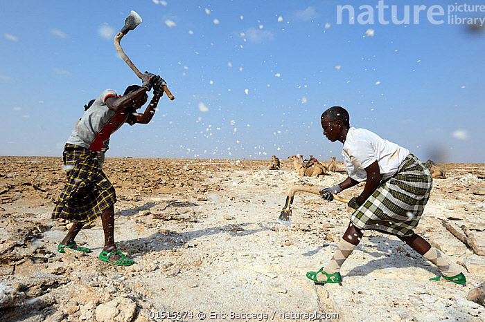 Afar men mining salt at Lake Assale. Danakil depression, Afar region, Ethiopia, March 2015., catalogue8,,,Digging,Working,People,Man,Only Men,Effort,Exertion,Trying,Real People,Teamwork,Partnership,Togetherness,Close,Together,Africa,East Africa,Ethiopia,Equipment,Work Tool,Tool,Tools,Work Tools,Hand Tool,Pick Axe,Pick Axes,Pickax,Pickaxe,Pickaxes,Picks,Mine,Mines,Pit,Pits,Desert,Deserts,Mineral,Minerals,Outdoors,Open Air,Outside,Day,Industry,Industrial,Industries,Mining Industry,Mining,Natural Resource,Natural Resources,Culture,Indigenous Culture,Tribes,Local Industry,Afar Region,Salt Mine,, Eric Baccega