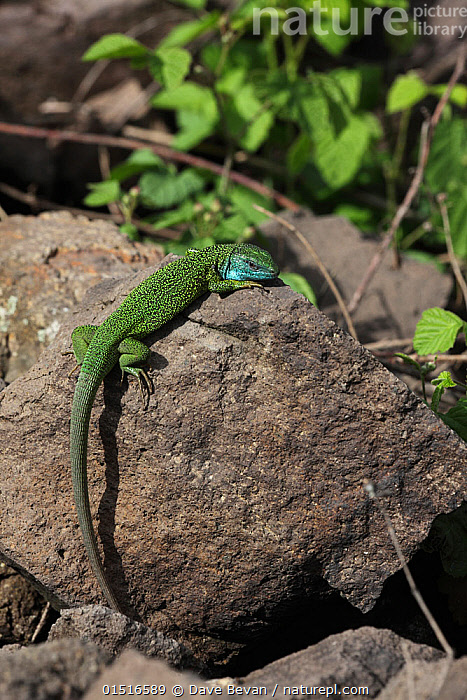 Green lizard (Lacerta viridis) male basking on rock in full breeding colours, Hungary, May.  ,  Animal,Vertebrate,Reptile,Squamate,Wall lizard,European Green lizard,Animalia,Animal,Wildlife,Vertebrate,Reptilia,Reptile,Squamata,Squamate,Lacertidae,Wall lizard,True lizard,Lizard,Lacerta,Lacerta viridis,European Green lizard,Green lizard,Seps viridis,Lacerta viridis bilineata,Colour,Green,Europe,Eastern Europe,East Europe,Hungary,Animal Behaviour,Thermoregulation,Basking,Colour-phases,Breeding colouration,Behaviour,Green colour  ,  Dave Bevan