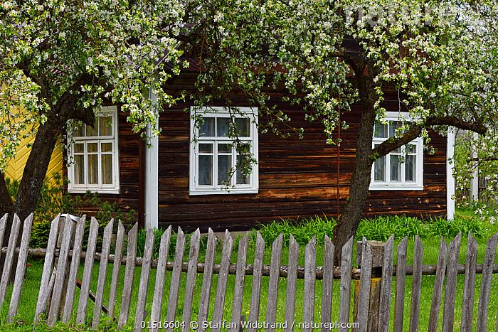 Wooden house in Musteika Village, Lithuania, May 2015., high15,,,Mood,Rustic,Rusticity,Traditional,Nobody,Europe,Eastern Europe,East Europe,Baltic Countries,Baltic States,Lithuania,Close Up,Exterior,Plant,Flower,Flowers,Blossom,Tree,Fruit Tree,Boundary,Fence,Picket Fence,Picket Fences,Settlement,Village,Villages,Building,Building Exterior,Residential Structure,House,Houses,Window,Window Frame,Window Frames,Wood,Wooden,Outdoors,Open Air,Outside,Day,Picturesque,Musteika,, Staffan Widstrand