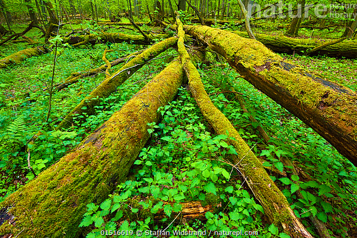 Moss covered fallen trees in old mixed conifer and broadleaf forest, Punia Forest Reserve, Lithuania, May., high15,,,Covering,Age,New Beginnings,Begin,New Life,Growth,Grow,Growing,Grows,Damaged,Fallen,Decomposition,Decaying,Colour,Green,Nobody,Wet,Damp,Overgrown,Europe,Eastern Europe,East Europe,Baltic Countries,Baltic States,Lithuania,High Angle View,Plant,Mosses,Moss,Tree,Evergreen Tree,Coniferous Tree,Conifers,Fallen Tree,Outdoors,Open Air,Outside,Spring,Day,Nature,Natural,Natural World,Forest,Elevated view,Ageing Process,Green colour,Forest floor,Beginnings,Conifer,Punia Forest Reserve,, Staffan Widstrand