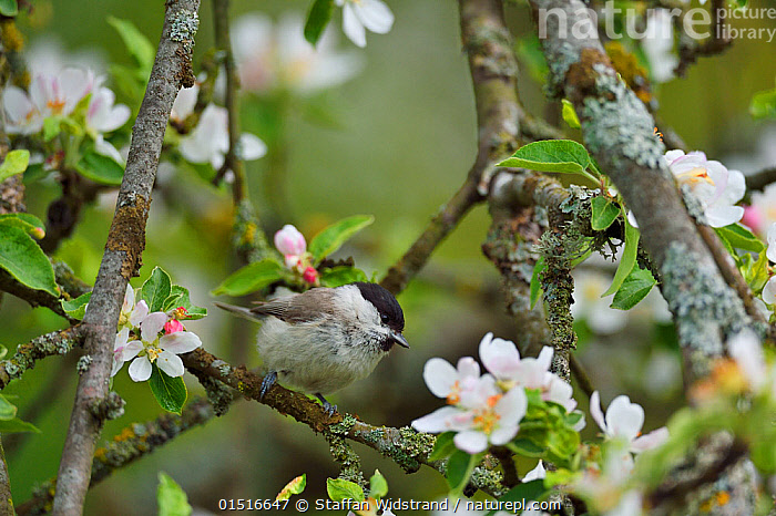 Marsh tit (Poecile palustris) perched in apple blossom, Musteika Village, Lithuania, May.  ,  Animal,Vertebrate,Bird,Birds,Songbird,Tit,Marsh tit,Animalia,Animal,Wildlife,Vertebrate,Aves,Bird,Birds,Passeriformes,Songbird,Passerine,Paridae,Tit,Poecile,Poecile palustris,Marsh tit,Parus palustris,Europe,Eastern Europe,East Europe,Baltic Countries,Baltic States,Lithuania,Plant,Flower,Spring  ,  Staffan Widstrand