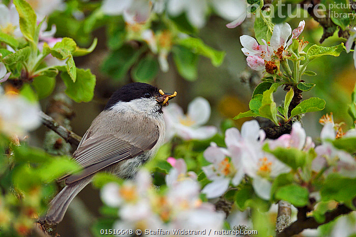 Marsh tit (Poecile palustris) perched in apple blossom with prey, Musteika Village, Lithuania, May.  ,  Animal,Vertebrate,Bird,Birds,Songbird,Tit,Marsh tit,Animalia,Animal,Wildlife,Vertebrate,Aves,Bird,Birds,Passeriformes,Songbird,Passerine,Paridae,Tit,Poecile,Poecile palustris,Marsh tit,Parus palustris,Europe,Eastern Europe,East Europe,Baltic Countries,Baltic States,Lithuania,Plant,Flower,Spring  ,  Staffan Widstrand
