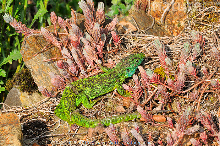 European green lizard (Lacerta viridis) amongst succulents, France.  ,  Animal,Vertebrate,Reptile,Squamate,Wall lizard,European Green lizard,Animalia,Animal,Wildlife,Vertebrate,Reptilia,Reptile,Squamata,Squamate,Lacertidae,Wall lizard,True lizard,Lizard,Lacerta,Lacerta viridis,European Green lizard,Green lizard,Seps viridis,Lacerta viridis bilineata,Europe,Western Europe,France,Animal Behaviour,Thermoregulation,Basking,Behaviour  ,  Dave Watts