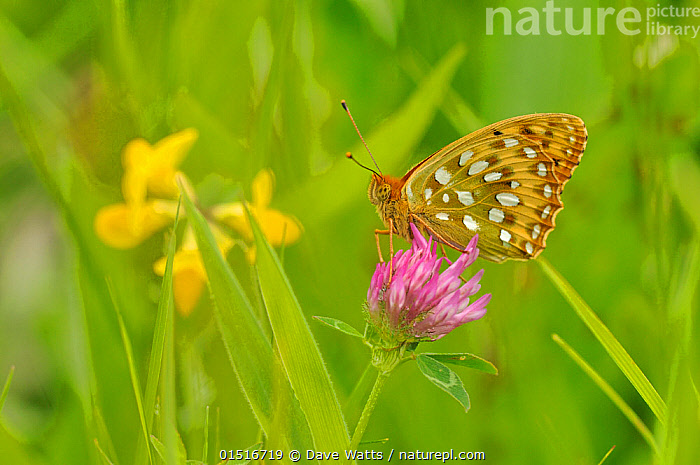 Dark green fritillary (Argynnis aglaja) on pink clover, south west France., high15,,Animal,Arthropod,Insect,Brushfooted butterfly,Fritillary,Dark green fritillary,Animalia,Animal,Wildlife,Hexapoda,Arthropod,Invertebrate,Hexapod,Arthropoda,Insecta,Insect,Lepidoptera,Lepidopterans,Nymphalidae,Brushfooted butterfly,Fourfooted butterfly,Nymphalid,Butterfly,Papilionoidea,Argynnis,Fritillary,Longwing,Heliconian,Heliconninae,Argynnis aglaja,Dark green fritillary,Papilio aglaja,Papilio charlotta,Mesoacidalia aglaja,Sitting,Waiting,Energetic,Colour,Green,Pink,Colourful,Colorful,Nobody,Pattern,Patterned,Patterns,Europe,Western Europe,France,Side View,Plant,Clover,Clovers,Wildflower,Wildflowers,Flower,Flowers,Wing,Wings,Outdoors,Open Air,Outside,Spring,Day,Grassland,Meadow,Meadows,Animal marking,Green colour,, Dave Watts
