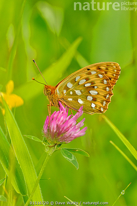 Dark green fritillary (Argynnis aglaja) on pink clover, south west France.  ,  Animal,Arthropod,Insect,Brushfooted butterfly,Fritillary,Dark green fritillary,Animalia,Animal,Wildlife,Hexapoda,Arthropod,Invertebrate,Hexapod,Arthropoda,Insecta,Insect,Lepidoptera,Lepidopterans,Nymphalidae,Brushfooted butterfly,Fourfooted butterfly,Nymphalid,Butterfly,Papilionoidea,Argynnis,Fritillary,Longwing,Heliconian,Heliconninae,Argynnis aglaja,Dark green fritillary,Papilio aglaja,Papilio charlotta,Mesoacidalia aglaja,Colour,Green,Pink,Colourful,Colorful,Europe,Western Europe,France,Spring,Green colour  ,  Dave Watts