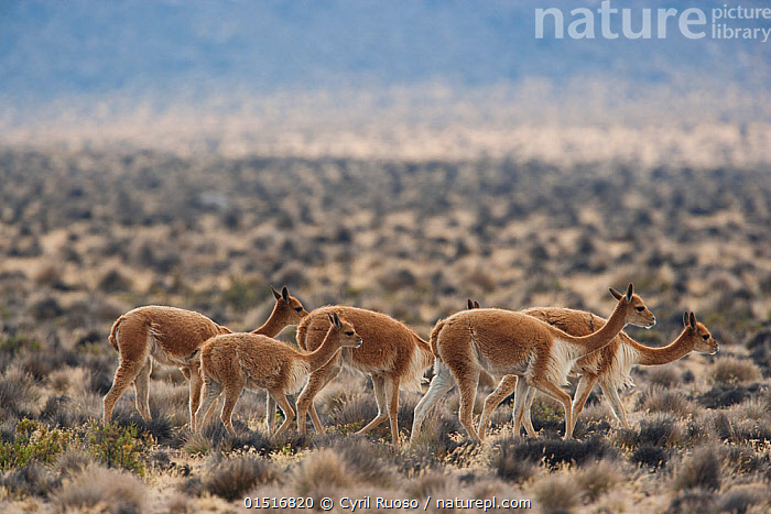 Vicuna (Vicugna vicugna) herd  in Altiplano, Aguada Blanca National Reserve, Peru.  ,  high15,,Animal,Vertebrate,Mammal,Camelid,Vicugna,Animalia,Animal,Wildlife,Vertebrate,Mammalia,Mammal,Artiodactyla,Even-toed ungulates,Camelidae,Camelid,Tylopoda,Vicugna,Vicugna vicugna,Vicuna,Moving After,Following,Follow,Follows,Direction,Journey,Obedience,On The Move,Togetherness,Close,Together,Group Of Animals,Herd,Herds,Group,Medium Group,Nobody,Latin America,South America,Peru,Side View,Plain,Plains,Landscape,Landscapes,Outdoors,Open Air,Outside,Day,Habitat,Reserve,Protected area,Altiplano,Montane,High altitude,Moving,Altitude,Purpose,Five Objects,Aguada Blanca National Reserve,  ,  Cyril Ruoso