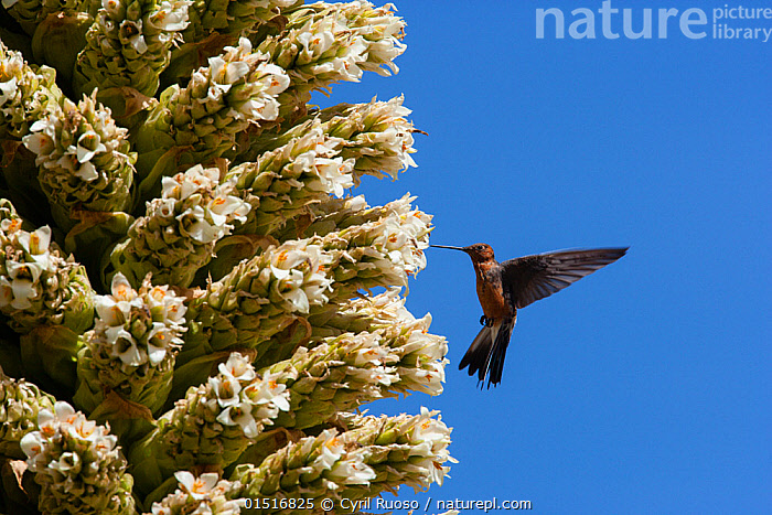 Giant humming bird (Patagona gigas) feeding from Queen of the Andes (Puya raymondii) flowers,  Cordillera Blanca Massif, Andes, Peru, November.  ,  high15,,Plant,Vascular plant,Flowering plant,Monocot,Bromeliad,Queen of the Andes,Animal,Vertebrate,Bird,Birds,Hummingbird,Giant hummingbird,Plantae,Plant,Tracheophyta,Vascular plant,Magnoliopsida,Flowering plant,Angiosperm,Seed plant,Spermatophyte,Spermatophytina,Angiospermae,Poales,Monocot,Monocotyledon,Lilianae,Bromeliaceae,Bromeliad,Puya,Puya raimondii,Queen of the Andes,Queen of the Puna,Pourretia gigantea,Animalia,Animal,Wildlife,Vertebrate,Aves,Bird,Birds,Apodiformes,Trochilidae,Hummingbird,Patagona,Patagona gigas,Giant hummingbird,Pollination,Flying,Hovering,Balance,Colour,White,Nobody,Latin America,South America,Peru,Profile,Side View,Flower,Flowers,Succulent,Succulents,Cactus,Cacti,Sky,Outdoors,Open Air,Outside,Day,Feeding,Andes,Flight,Blue sky,White colour,Cordillera Blanca,  ,  Cyril Ruoso