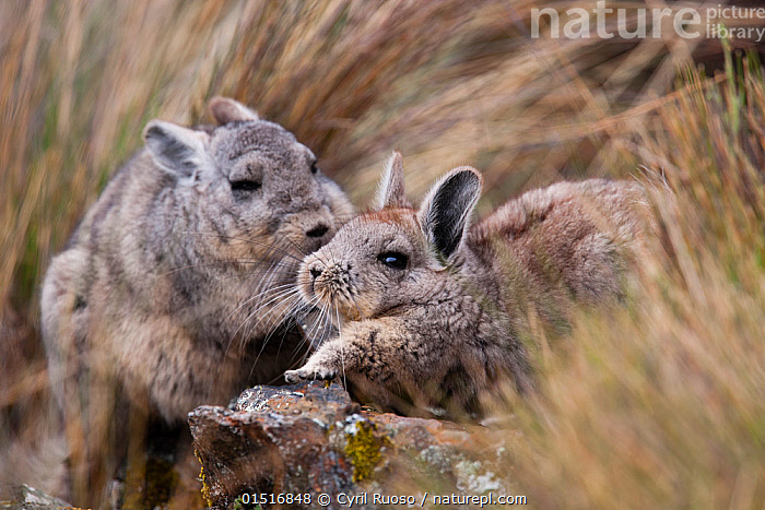 Northern viscacha (Lagidium peruanum) adult and young Cordillera Blanca Massif, Andes, Peru., high15,,Animal,Vertebrate,Mammal,Rodent,Visacha,Northern Mountain Viscacha,Animalia,Animal,Wildlife,Vertebrate,Mammalia,Mammal,Rodentia,Rodent,Chinchillidae,Lagidium,Visacha,Lagidium peruanum,Northern Mountain Viscacha,Northern Viscacha,Whisper,Advice,Advise,Advising,Friendship,Secrecy,Secret,Secrets,Two,Nobody,Latin America,South America,Peru,Close Up,Plant,Grass Family,Grass,Grasses,Hair,Fur,Outdoors,Open Air,Outside,Day,Nature,Natural,Natural World,Wild,Andes,Family,Mother baby,Mother-baby,mother,Two animals,Parent baby,Animal Hair,Confidante,Cordillera Blanca,, Cyril Ruoso