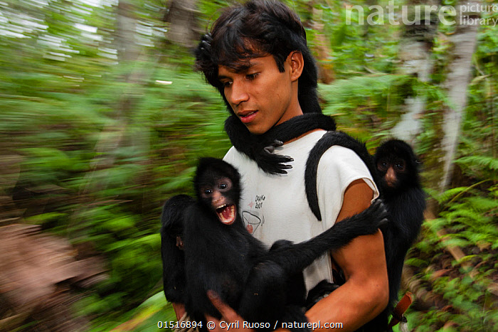Man with Chamec spider monkeys (Ateles chamek) holding onto him as he walks through sanctuary. Ikamaperou Sanctuary, Amazon, Peru. October 2006., high15,,Animal,Vertebrate,Mammal,Monkey,Spider monkeys,Black-faced Black Spider Monkey,Animalia,Animal,Wildlife,Vertebrate,Mammalia,Mammal,Primate,Primates,Atelidae,Monkey,New World Monkeys,Ateles,Spider monkeys,Ateles chamek,Black-faced Black Spider Monkey,Chamek Spider Monkey,Peruvian Black Spider Monkey,Yelling,Yells,Scream,Screams,Screech,Screeches,Screeching,Walking,People,European Descent,Caucasian Ethnicity,Latin American And Hispanic Ethnicity,Latin,Latin American,Latin Americans,South American Ethnicity,South American,South American Ethnicities,South Americans,Adult,Adults,Young Adult,Young Adults,Young People,Young Person,Man,Only Men,One Man,Fear,Protection,1 Person,Single,Single Person,Terrified,Terrify,Terror,Panic,Latin America,South America,Peru,Waist Up,Half Length,Photographic Effect,Blurred Motion,Blurred Movement,Outdoors,Open Air,Outside,Day,Geology,Conservation,Wildlife conservation,Protected area,Amazon,Sanctuary,Petrified,Wildlife Sanctuary,Paleontology,Protector,IIkamaperou Sanctuary,Endangered species,threatened,Endangered, Cyril Ruoso