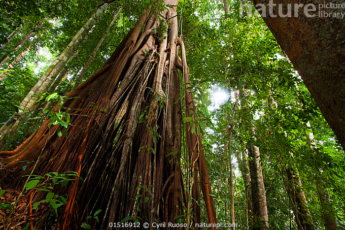 Fig tree (Ficus sp) in rainforest, Bukit Barisan National Park, Sumatra, Indonesia.  ,  high15,,,Majestic,Scale,Proportion,Old,Nobody,Height,Tall,High,Asia,South East Asia,Indonesia,Low Angle View,Plant,Ficus Order,Mulberry Family,Fig Plant,Fig Plants,Fig Tree,Fig Trees,Root,Tree,Outdoors,Open Air,Outside,Day,Rainforest,Tropical rainforest,Reserve,Forest,Biodiversity hotspot,Sumatra,Protected area,National Park,Imposing,Towering,Bukit Barisan National Park,  ,  Cyril Ruoso