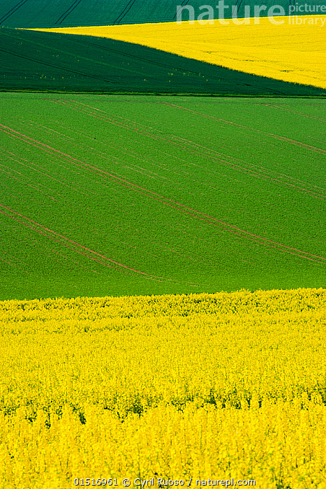 Oilseed rape (Brassica napus) fields in flower, Burgundy, France, May.  ,  high15,,Plant,Vascular plant,Flowering plant,Rosid,Crucifer,Cruciferous vegetable,Oil seed rape,Plantae,Plant,Tracheophyta,Vascular plant,Magnoliopsida,Flowering plant,Angiosperm,Seed plant,Spermatophyte,Spermatophytina,Angiospermae,Brassicales,Rosid,Dicot,Dicotyledon,Rosanae,Brassicaceae,Crucifer,Cabbage family,Mustard,Mustard flower,Cruciferae,Brassica,Cruciferous vegetable,Cabbage,Brassica napus,Oil seed rape,Rapeseed,Rape,Oilseed rape,Crucifera napus,Brassica rutabaga,Brassica praecox,Contrasts,Simplicity,Colour,Green,Yellow,Colourful,Colorful,Nobody,Vibrant Colour,Shape,Shapes,Geometric,Europe,Western Europe,France,Burgundy,Full Frame,Crops,Produce,Cultivated,Cultivation,Flower,Flowers,Cultivated Land,Fields,Landscape,Landscapes,Rolling Landscape,Undulating Landscape,Outdoors,Open Air,Outside,Summer,Day,Agriculture,Backgrounds,Background,Farmland,Green colour,Bourgogne,Yellow Colour,Patchwork Landscape,Crop,Crops,Vegetable,Vegetables  ,  Cyril Ruoso