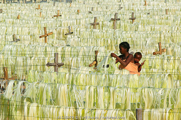 Woman with baby looking at Sisal (Agave sisalana) fibres drying for rope making, Berenty Reserve, Madagascar., catalogue8,,Plant,Vascular plant,Flowering plant,Monocot,Agave,Sisal,Plantae,Plant,Tracheophyta,Vascular plant,Magnoliopsida,Flowering plant,Angiosperm,Seed plant,Spermatophyte,Spermatophytina,Angiospermae,Asparagales,Monocot,Monocotyledon,Lilianae,Asparagaceae,Agave,Agave sisalana,Sisal,Sisal hemp,Agave amaniensis,Agave rigida var. sisalana,Agave segurae,Hanging,Carries,Carry,Drying,Working,People,African Descent,Child,Family,Parent,Mother,Africa,Madagascar,Malagasy Republic,Republic of Madagascar,Full Frame,Cultivated,Cultivation,Local Produce,Outdoors,Open Air,Outside,Day,Biodiversity hotspots,Biodiversity hotspot,Local people,Carrying on back,Natural Fibre,Crop,Crops, Cyril Ruoso