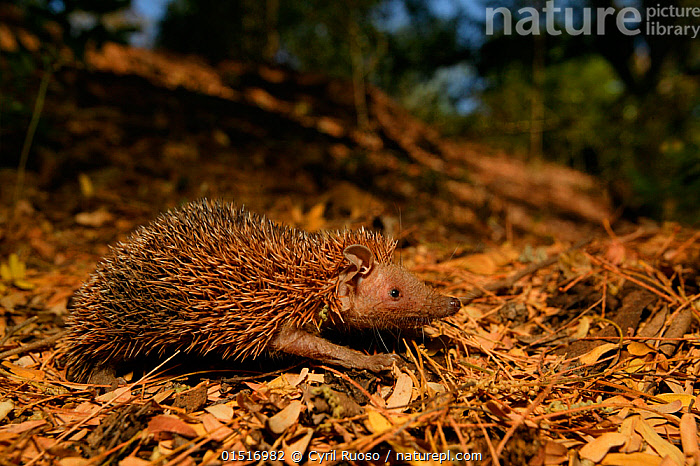 Tenrec (Echinops telfairi) walking across leaf litter, Berenty Reserve, Madagascar., catalogue8,,Animal,Vertebrate,Mammal,Tenrec,Lesser Hedgehog Tenrec,Animalia,Animal,Wildlife,Vertebrate,Mammalia,Mammal,Afrosoricida,Tenrecidae,Tenrec,Echinops,Echinops telfairi,Lesser Hedgehog Tenrec,Small madagacar hedgehog,Walking,Determination,Direction,Urgency,Colour,Brown,Nobody,Spike,Spiked,Spikes,Spikey,Spiky,Africa,Madagascar,Malagasy Republic,Republic of Madagascar,Profile,Close Up,Side View,Plant,Leaf,Foliage,Outdoors,Open Air,Outside,Day,Woodland,Forest,Biodiversity hotspots,Biodiversity hotspot,Purpose,Fallen Leaves,Hurrying,Brown Colour,Convergent evolution,, Cyril Ruoso