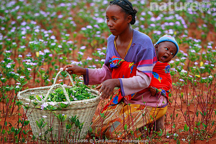 Woman with baby collecting Madagascar periwinkle (Catharanthus roseus) flowers and leaves, used in herbal medicine, and containing molecules which are used in the treatment of leukemia cancer. Berenty, Madagascar.  ,  high15,,Plant,Vascular plant,Flowering plant,Asterid,Dogbane,Periwinkle,Madagascar periwinkle,Plantae,Plant,Tracheophyta,Vascular plant,Magnoliopsida,Flowering plant,Angiosperm,Seed plant,Spermatophyte,Spermatophytina,Angiospermae,Gentianales,Asterid,Dicot,Dicotyledon,Asteranae,Apocynaceae,Dogbane,Apocyn,Catharanthus,Periwinkle,Catharanthus roseus,Madagascar periwinkle,Cape periwinkle,Rose periwinkle,Rosy periwinkle,Vinca rosea,Ammocallis rosea,Lochnera rosea,Collecting,Yawning,Kneeling,Kneel,Carries,Carry,People,African Descent,Child,Human Baby,Babies,Infancy,Infant,Infants,Woman,Family,Parent,Mother,Working Mother,Working Mothers,Focus,Colour,Colourful,Colorful,Africa,Madagascar,Malagasy Republic,Republic of Madagascar,Flower,Flowers,Cut Flower,Cut Flowers,Cutflower,Cutflowers,Container,Containers,Basket,Baskets,Equipment,Medicines,Cure,Alternative Therapy,Herbal Medicine,Cultivated Land,Fields,Outdoors,Open Air,Outside,Day,Biodiversity hotspots,Biodiversity hotspot,Farmland,Women at Work,Carrying on back,Focused,  ,  Cyril Ruoso