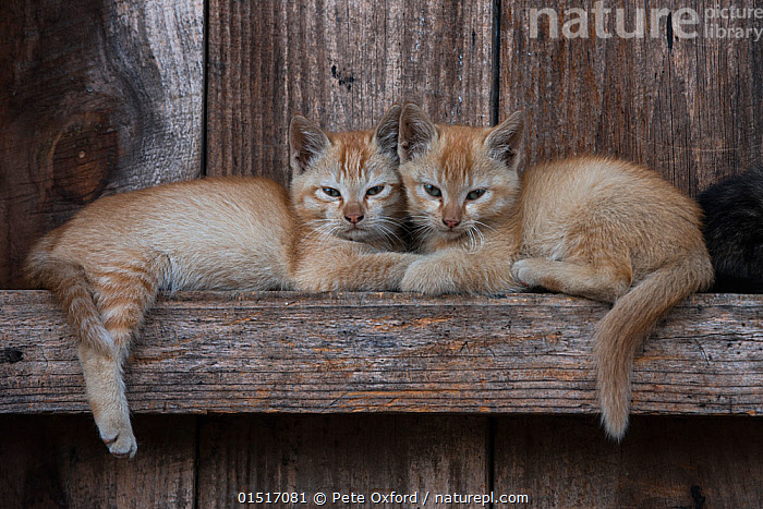 Kittens resting on beams. These animals are kepts as pets but sometimes eaten in the Apatani Tribe, Ziro Valley, Himalayan Foothills, Arunachal Pradesh, North East India. November 2014., high15,,Felis catus,Resting,Rest,Sibling,Siblings,Laziness,Lazy,Lethargic,Lethargy,Relaxation,Same,Togetherness,Close,Together,Two,Nobody,Tiredness,Asia,Indian Subcontinent,India,Head To Head,Animal,Young Animal,Juvenile,Babies,Baby Mammal,Kitten,Kittens,Food,Building,Residential Structure,House,Houses,Beam,Beams,Wood,Wooden,Indoors,Day,Domestic animal,Pet,Family,Domestic Cat,Cats,Felis catus,Cat,Two animals,Direct Gaze,Arunachal Pradesh,Pets,Devotion,Apatani People,Reliant,, Pete Oxford